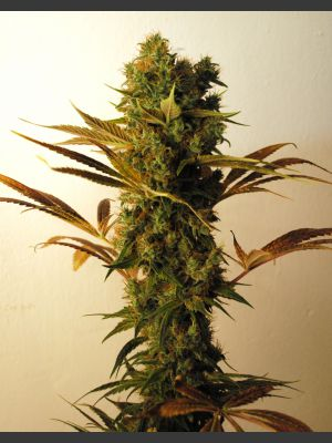 Hammer Shark Feminised Seeds