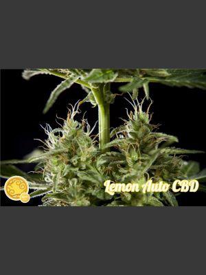 Lemon CBD Auto Feminised Seeds