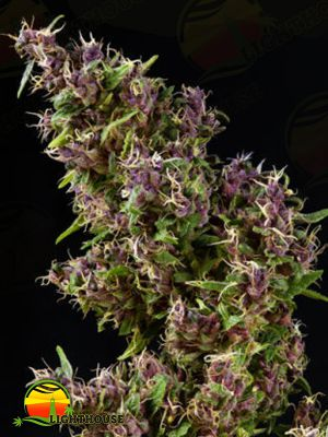 Purple Paro Valley (Mandala Seeds)
