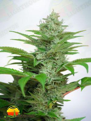 Star Auto CBD (Ministry of Cannabis)