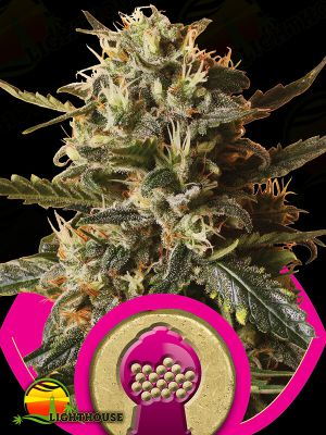Bubblegum XL (Royal Queen Seeds)