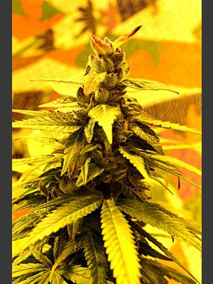 Southern Lights #7 FEMINISED Seeds