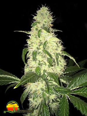 Afghaniberry Regular (T.H.Seeds)