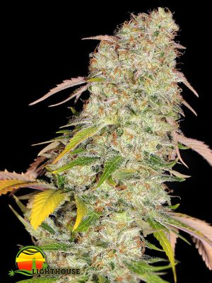 Akorn (T.H.Seeds)