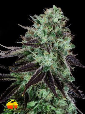 Dark Star Feminised (T.H.Seeds)