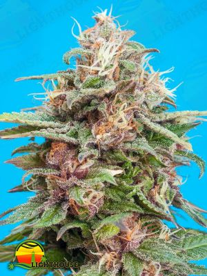 Bisho Purple (Tropical Seeds)