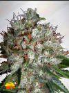 Big Bud XXL (Ministry of Cannabis)