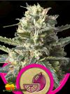 Lemon Shining Silver Haze (Royal Queen Seeds)