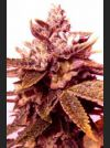 Sour Blackberry Diesel Regular Seeds