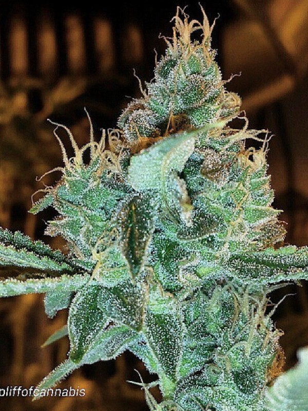 Aloha Grape Stomper Regular Seeds