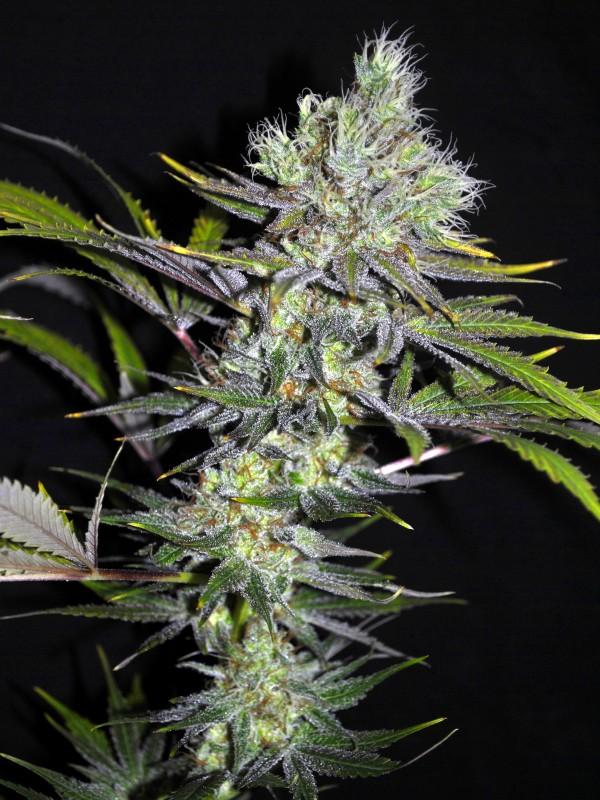 Sweet n Sour Widow CBD Regular Seeds