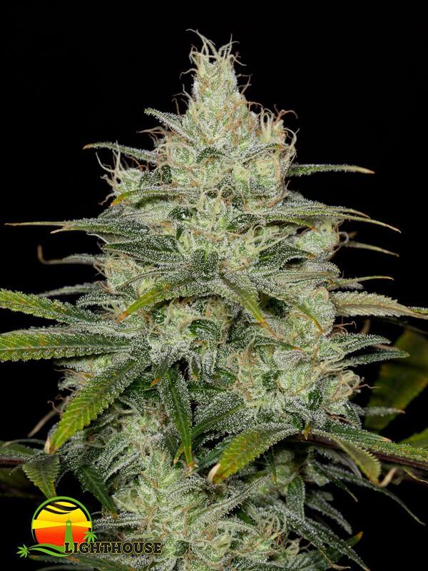 Cheese CBD (Dinafem Seeds)