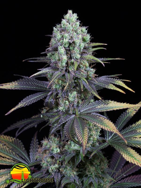 Dinamed CBD (Dinafem Seeds)