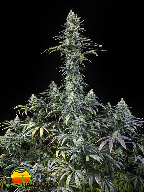 Early Amnesia CBD (Dinafem Seeds)
