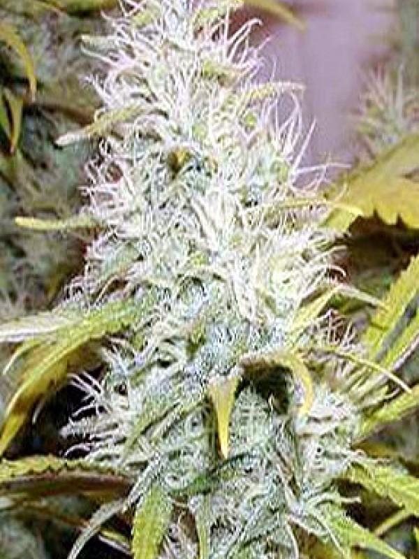 Dolce Vita Feminised Seeds