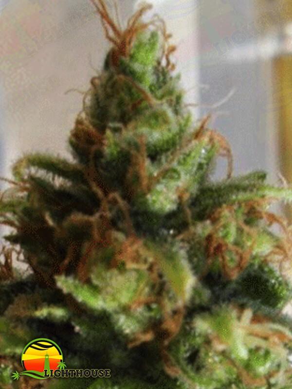 Ganj-nam Style (Dr Krippling Seeds)