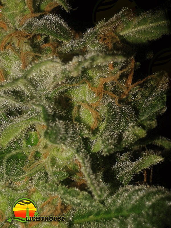 The Incredible Bulk Auto (Dr Krippling Seeds)