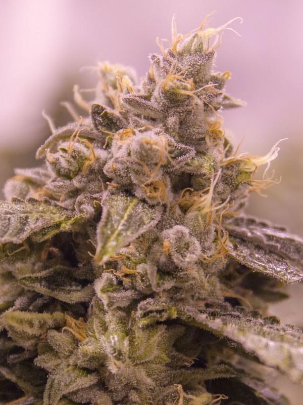 Grape Valley Kush (formerly Merlot OG) Feminised Seeds - 6