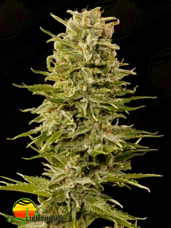 AK Auto (Grass-O-Matic Seeds)