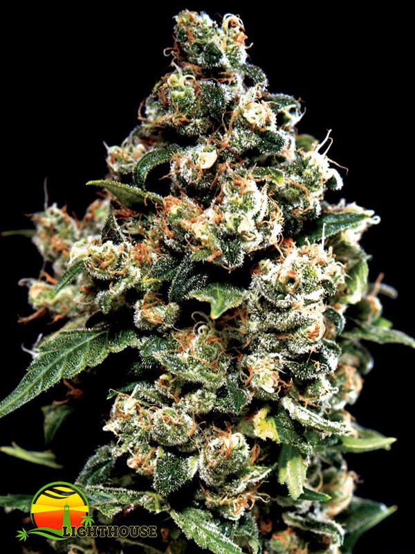 Jack Herer (Greenhouse Seed Co.)