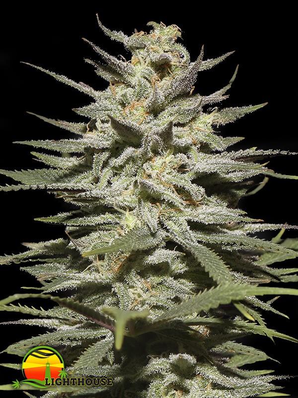 Super Lemon Haze CBD (Greenhouse Seed Co.)