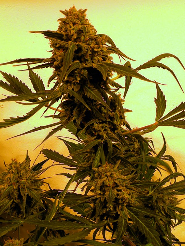 Guillotine Autoflowering (French Touch Seeds)