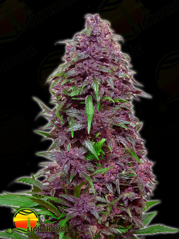 Purple Mazar Auto (Kalashnikov Seeds)