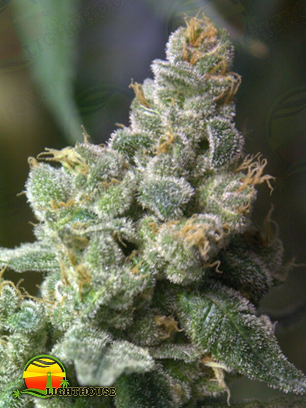 Queen of Hearts Regular (Norstar Genetics)