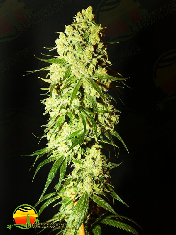 Cannatonic (Resin Seeds)