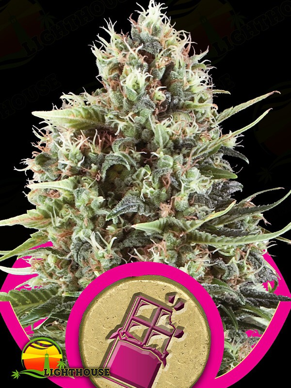 Chocolate Haze (Royal Queen Seeds)