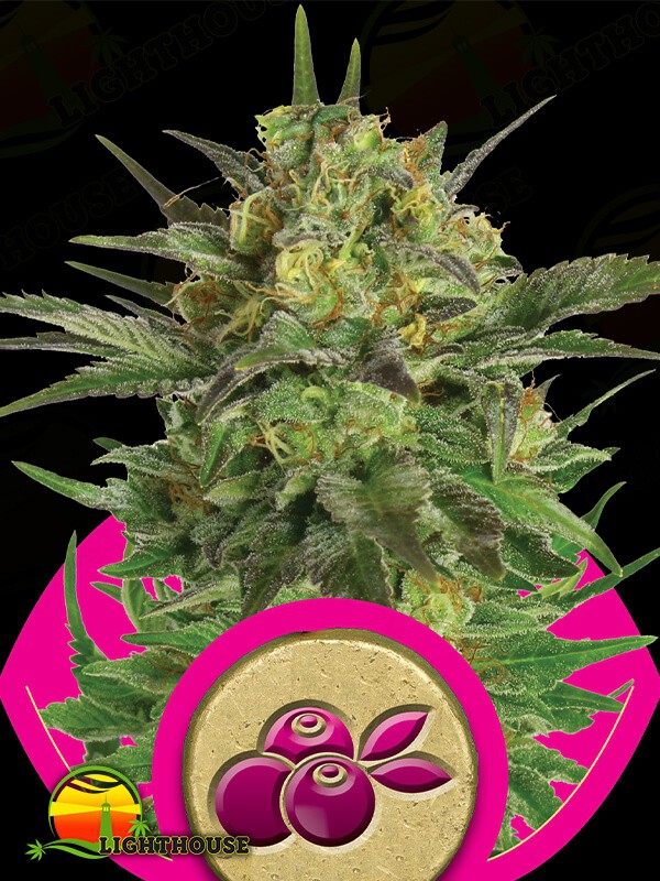 Haze Berry (Royal Queen Seeds)