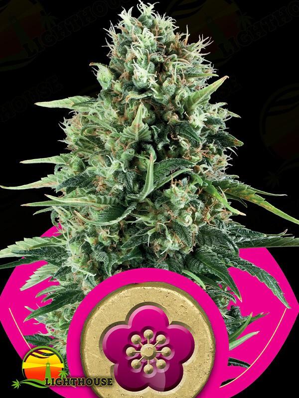 Power Flower (Power Flower)