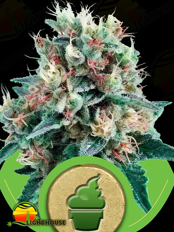 Royal Creamatic Auto (Royal Queen Seeds)