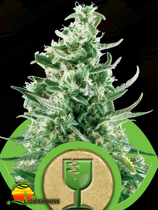 Royal Critical Auto (Royal Queen Seeds)