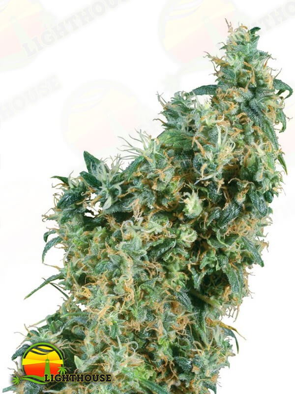 First Lady Regular (Sensi Seeds)