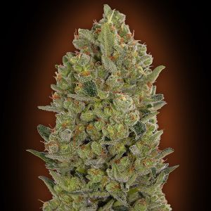 00 Cheese (00 Seeds)