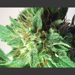 Afrodite Feminised Seeds
