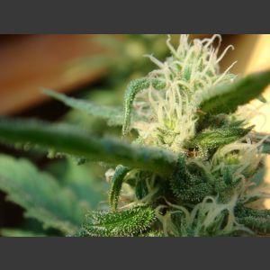 Angel's Breathe (Mango Haze x Afghan Haze) Regular Seeds