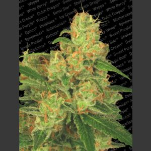 Auto Acid Autoflowering Feminised Seeds