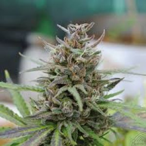 Baby Boom Automatic Feminised Seeds
