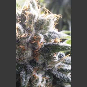 Barbara Bud Regular Seeds - 11