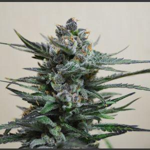 Blue Acid AUTO Feminised Seeds