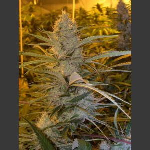 Cannalope Haze Regular Seeds – 6