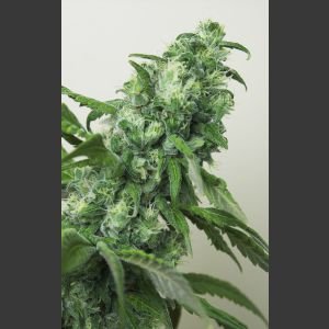 Digweed Regular Seeds - 11