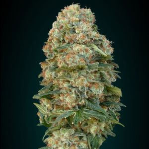 Collection #1 Feminised (Advanced Seeds)