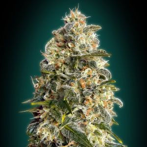 Collection #3 Feminised (Advanced Seeds)