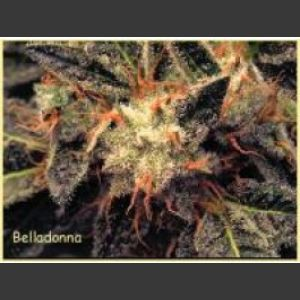 Bella Donna Feminised Seeds