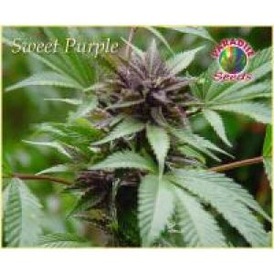 Sweet Purple Feminised Seeds