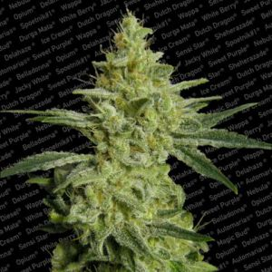 ALLKUSH formerly Sheherazade Feminised Seeds