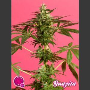 Guayita Feminised Seeds